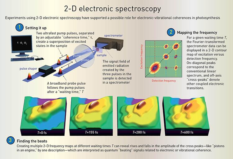 Quantum Effects in Biology | Optics & Photonics News