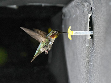 Seeing Sound—How Hummingbirds Hum