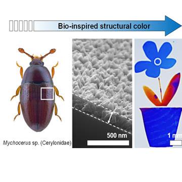 Beetle Inspired Structural Colors Optics Amp Photonics News